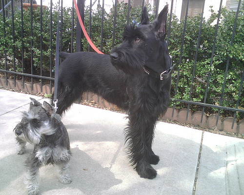 Meet The Breed The Giant Schnauzer Baxterboo