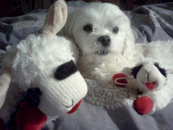 Multipet Lamb Chop Dog Toy with Same Day Shipping | BaxterBoo
